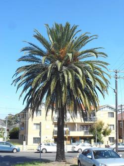 13 Canary Island Date Palm
