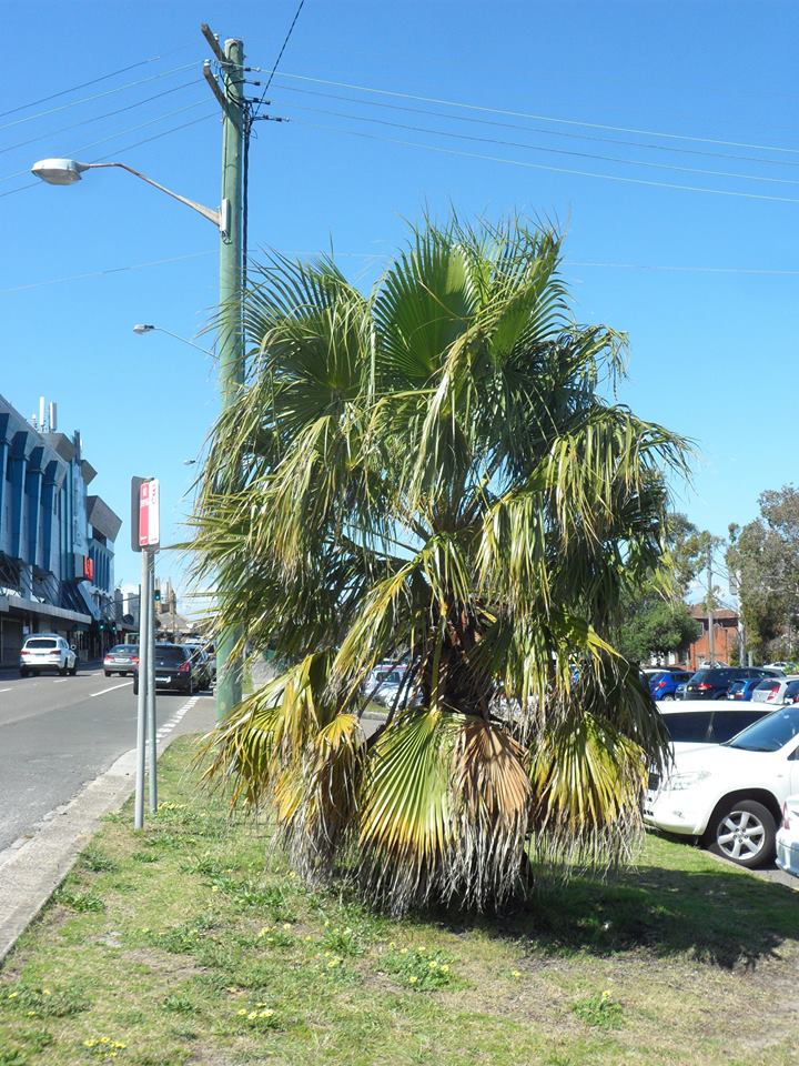 14 California Fan Palm