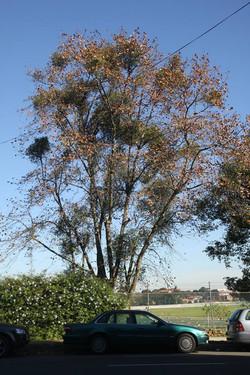 61 Plane Tree