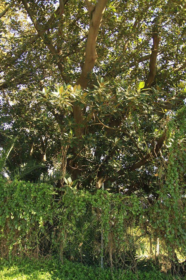 31 Moreton Bay Fig