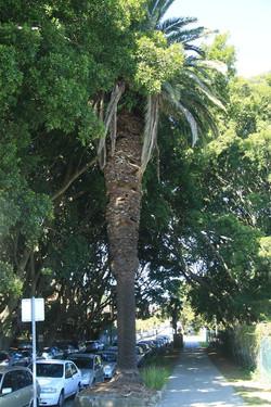 52 Canary Island Date Palm