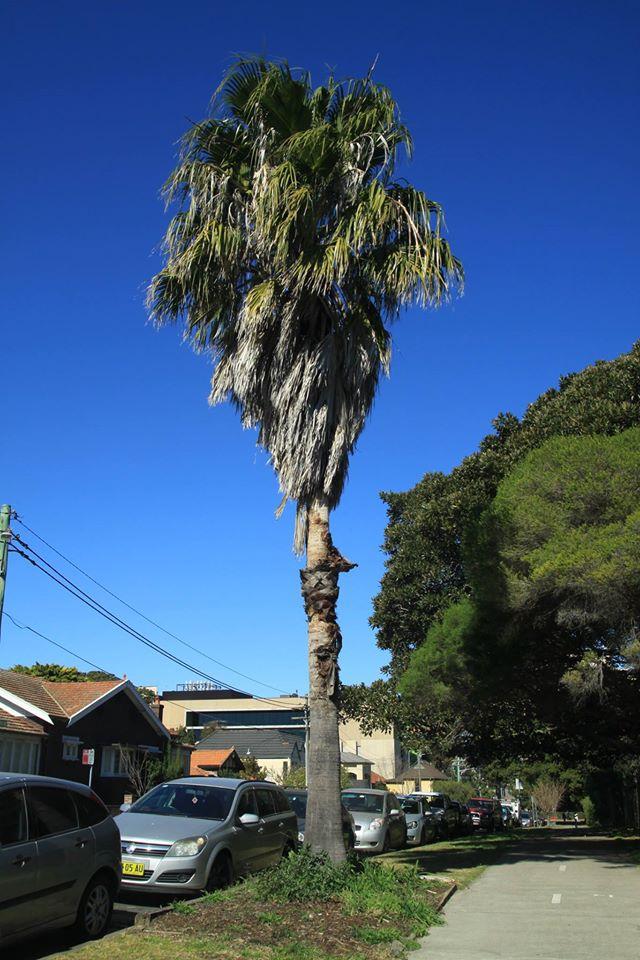 11 California Fan Palm