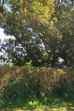 19 Moreton Bay Fig
