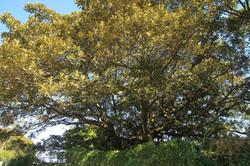 17 Moreton Bay Fig