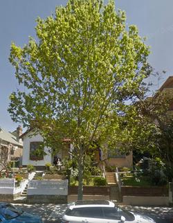 38 London Plane Tree