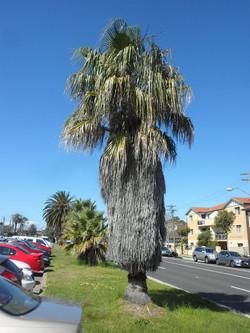22 California Fan Palm
