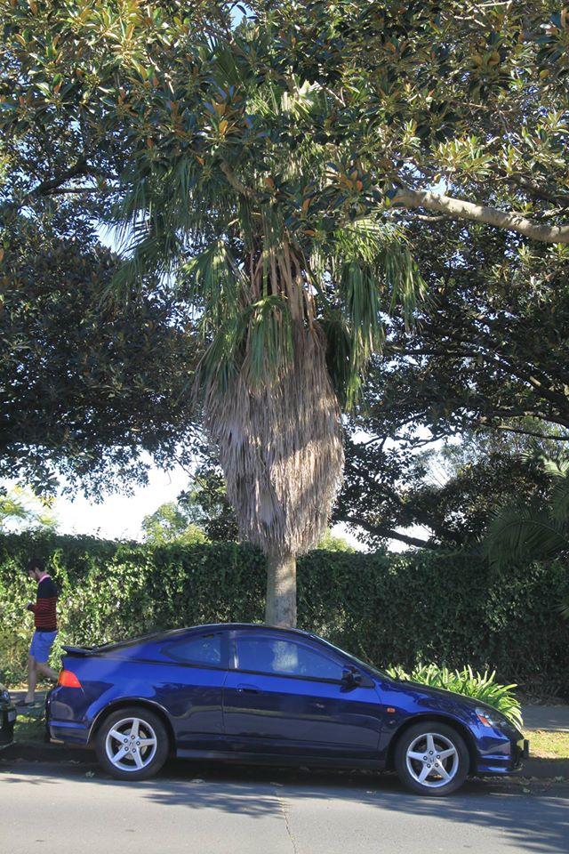 28 California Fan Palm