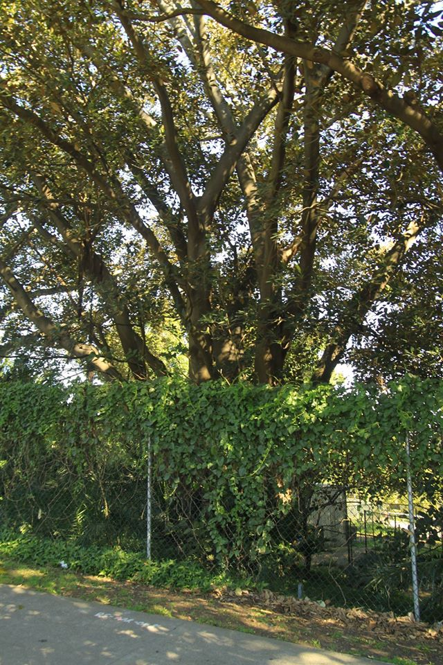 25 Moreton Bay Fig