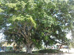 36 Hill's Weeping Fig  Landmark tree at the Kingsford Nineways Roundabout.  _ Killed July 2016