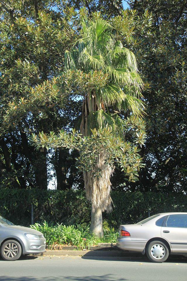 20 California Fan Palm
