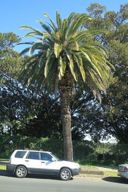 18 Canary Island Date Palm