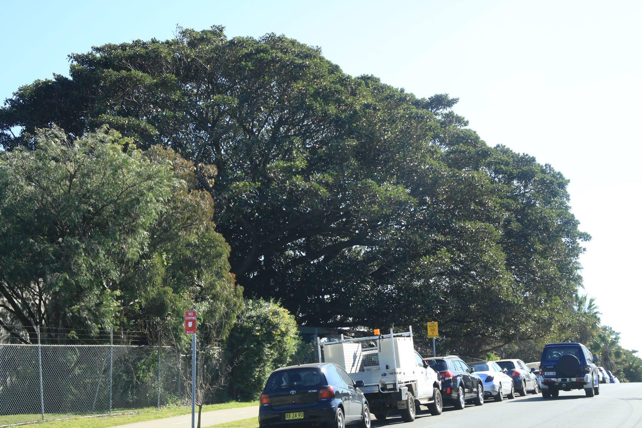7 Moreton Bay Fig