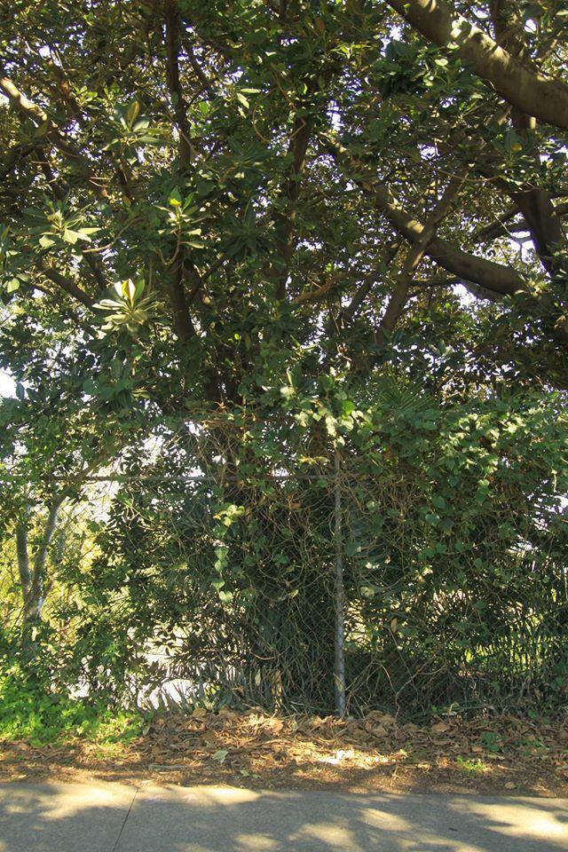 37 Moreton Bay Fig