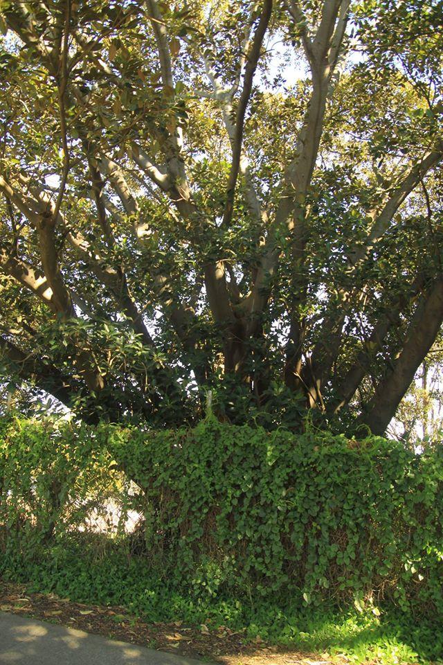 29 Moreton Bay Fig