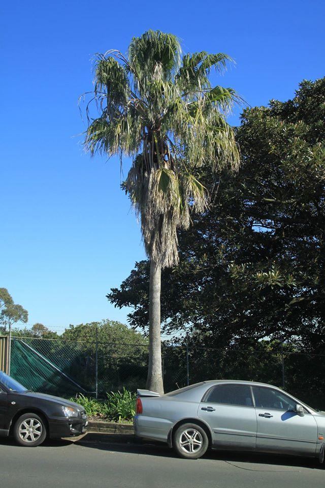 15 California Fan Palm