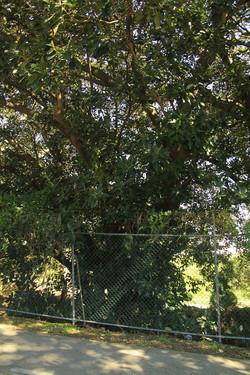 32 Moreton Bay Fig