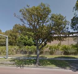 17 Port Jackson Fig  Anzac Pde, Moore Park