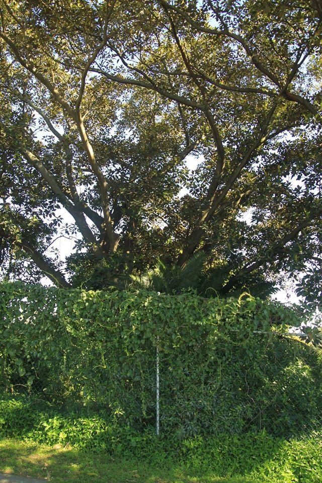 13 Moreton Bay Fig
