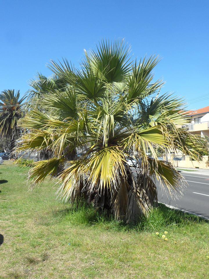 21 California Fan Palm