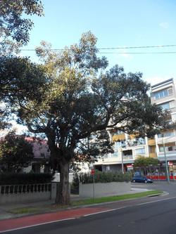 27 Port Jackson Fig _
