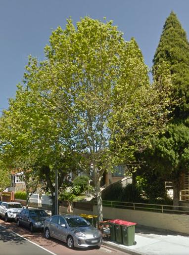 36 London Plane Tree