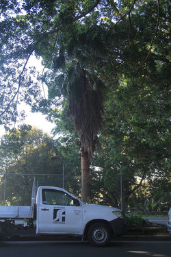 45 California Fan Palm