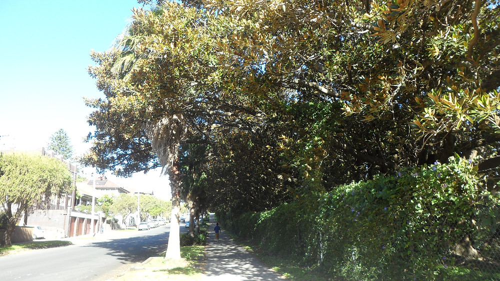 The row of Moreton Bay Figs on Wansey Road