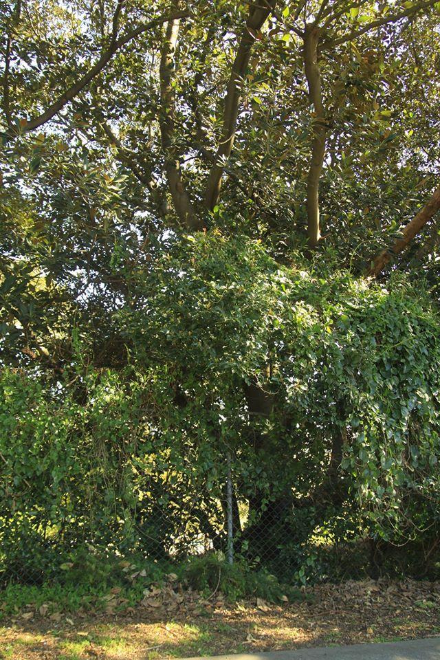 34 Moreton Bay Fig