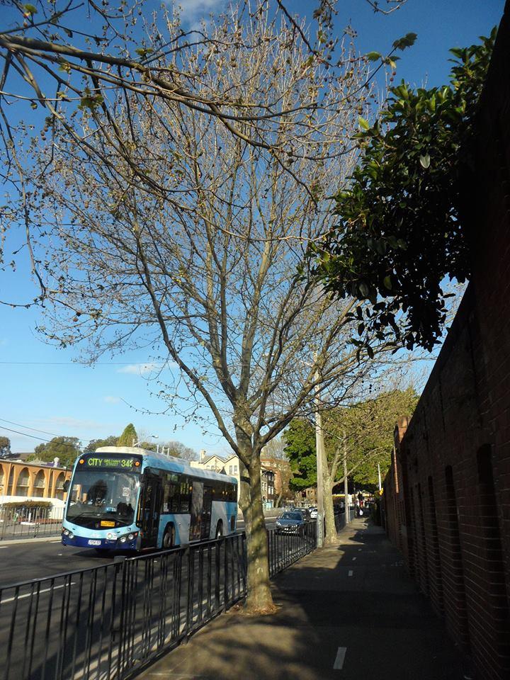 101  London Plane Tree  Alison Road, Randwick