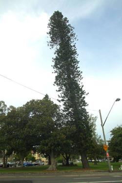 Cook Pine