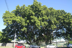 56 Hills Weeping Fig