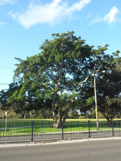 Hills Weeping Fig