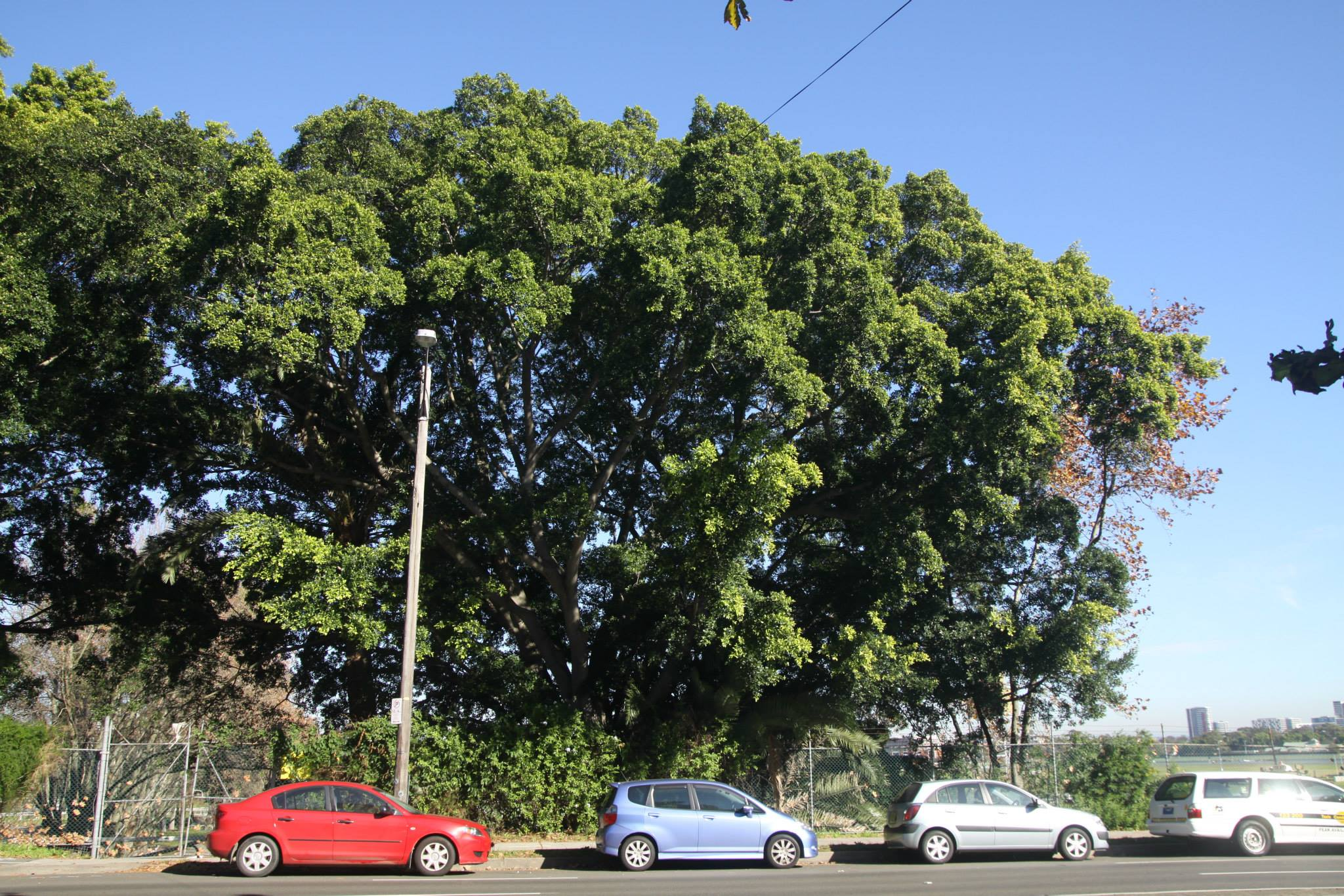 59 Hills Weeping Fig