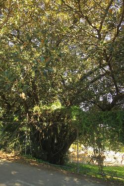 27 Moreton Bay Fig