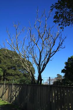 13 White Cedar
