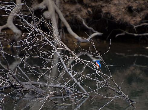 _DSC5695 be Kingfisher.jpg