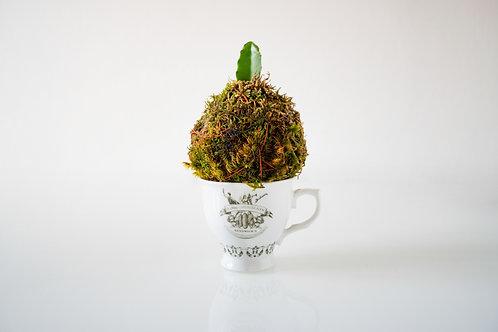 KOKEDAMA - Frutto del drago - Small