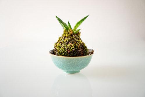 KOKEDAMA - Aloe Vera - Small