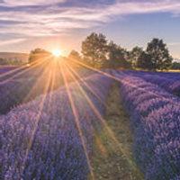 Lavender Field Website.jpg