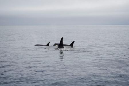 Schwertwale in Japan