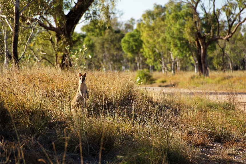 Freundliche Wallabies in Fitzroy Crossing