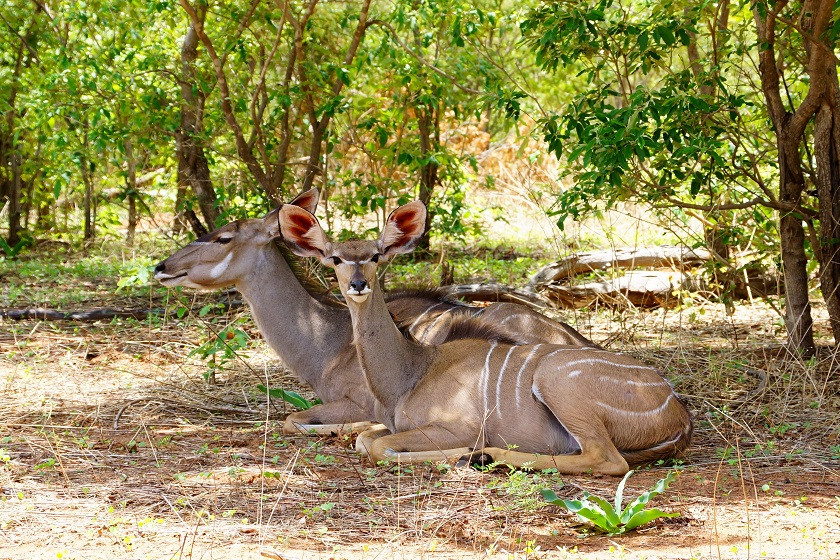 Kudus im Chobe Nationalpark