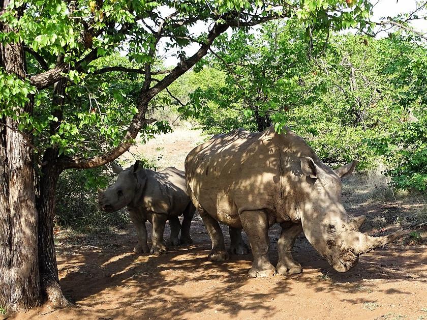 Nashörner im Limpopo Lipadi Game Reserve