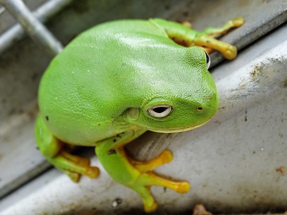 Green Tree Frog - Australien
