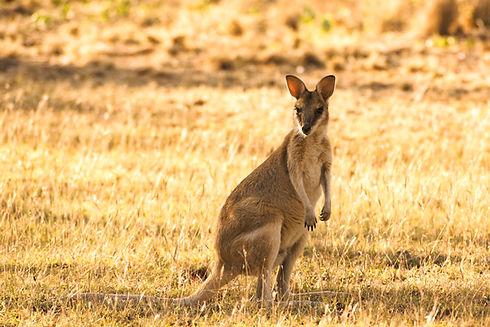 Australien Kangaroo im Gras