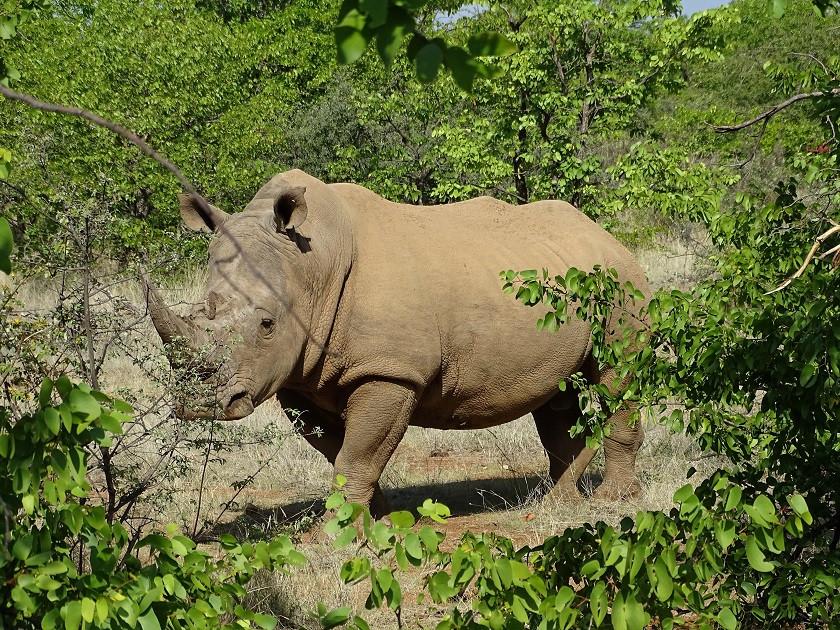 Nashorn im Tuli Wilderness Game Reserve