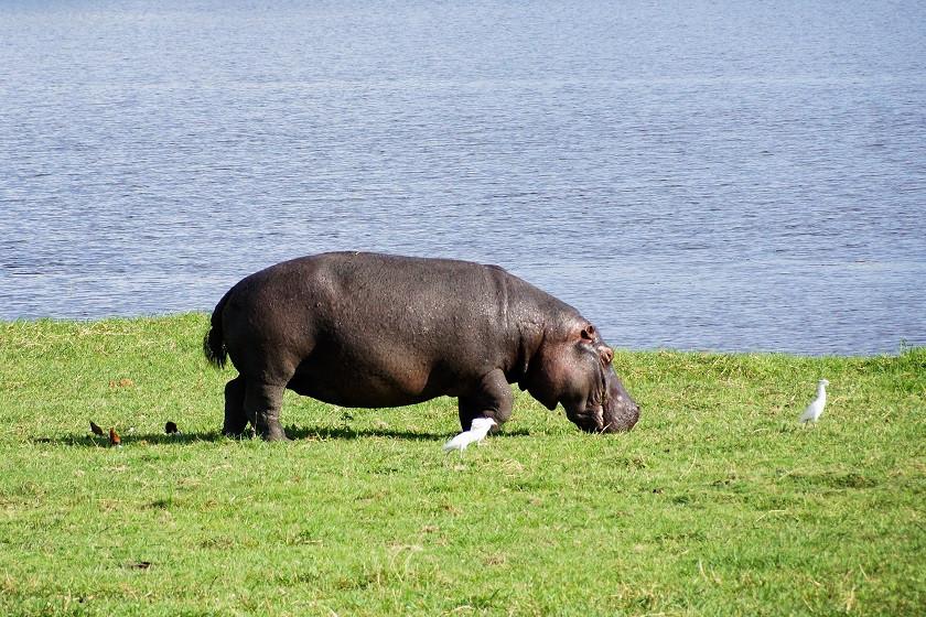 Unser erstes Nilpferd in Botswana