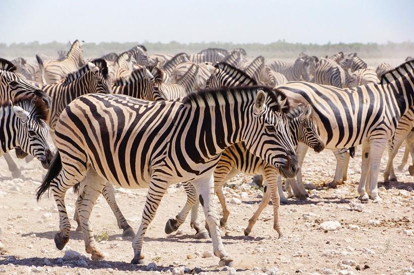 Zebras im Etosha - Namibia