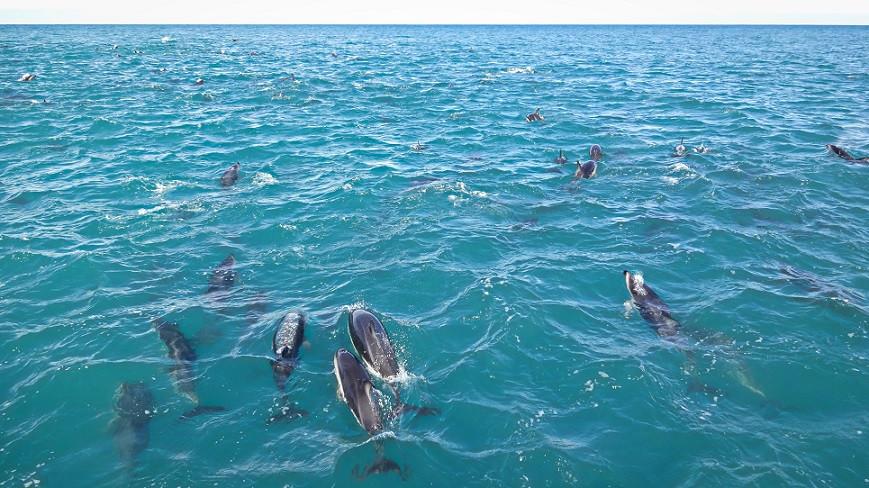 Dusky Delfin