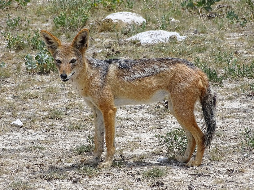 Schakal im Etosha Nationalpark